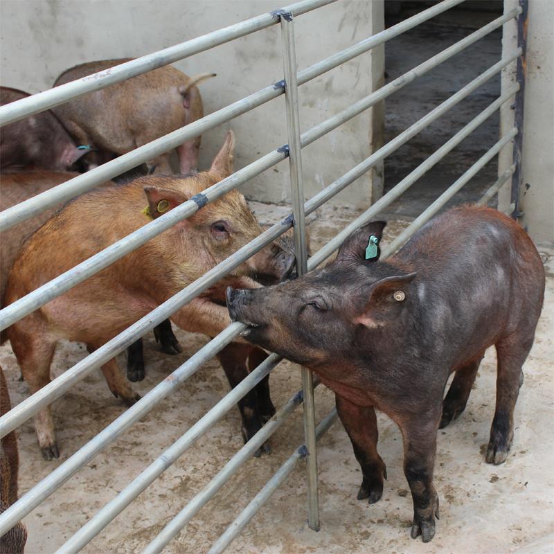 野猪统一采用公司发明的生态野山猪保健饲料喂养,生态野山猪保健饲料在饲料中加入了用于治疗的中草药饲料,具有抗炎、清热解毒、健胃、解毒杀虫、降低血清胆固醇、改善动物的肉质,增强动物的免疫力和抗病力,助于生长需要。经常食用此发明喂食的野山猪肉可降低高血压、血管硬化、冠心病、脑血栓、糖尿病等病的发生,对提高免疫力有一定的益处。 目前野猪的量还很少,有非常大的发展空间。其猪肉的市场价格在30元/斤以上,是家猪肉的3-5倍,而且是有价无肉,十分紧缺。 从当今人们追求绿色消费的发展趋势来看,野猪猪是一个市场容量大